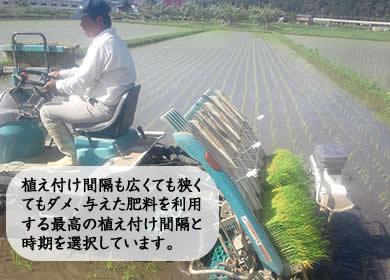 植え付け間隔も広くても狭くてもダメ、与えた肥料を利用する最高の植え付け間隔と時期を選択しています。