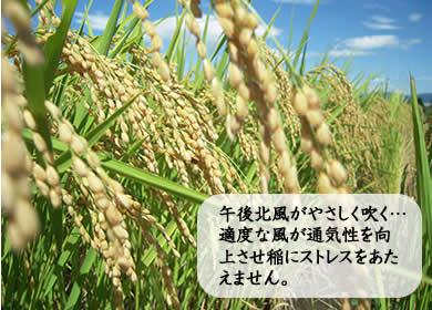 午後北風がやさしく吹く…適度な風が通気性を向上させ稲にストレスをあたえません。