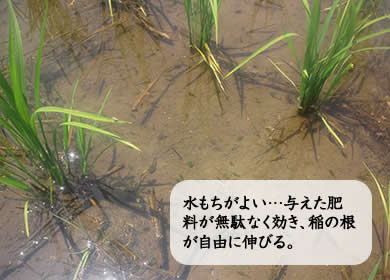 水もちがよい…与えた肥料が無駄なく効き、稲の根が自由に伸びる。
