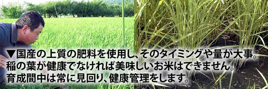 ▼国産の上質の肥料を使用し、そのタイミングや量が大事。 稲の葉が健康でなければ美味しいお米はできません。 育成間中は常に見回り、健康管理をします。